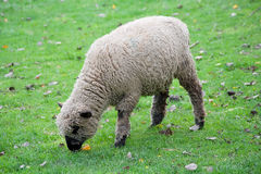 Black faced sheep in a green grass field Royalty Free Stock Photos