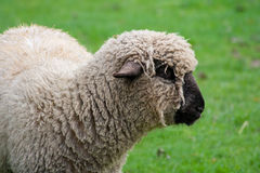 Black faced sheep in a green grass field Stock Images