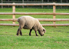 Black faced sheep in a green grass field. View of a black faced sheep in a green grass field Royalty Free Stock Photos