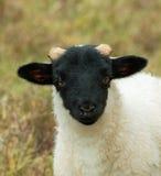 Black-Faced Sheep Lamb Stock Images