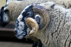 Black-faced sheep Latxa Stock Images