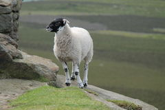 Black Faced Sheep. Stock Photo