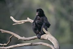 Black-faced spider monkey, Ateles chamek Stock Image