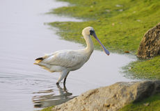 Black-faced Spoonbill Stock Photos