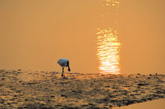 Black-faced Spoonbill. Playing in the water Royalty Free Stock Images
