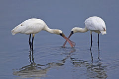 Black-faced spoonbill. Being affectionate Royalty Free Stock Photo