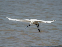 Black-faced Spoonbill. In waterland stock photos