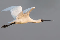 Black-faced Spoonbill flying Royalty Free Stock Photo