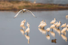 Black-faced Spoonbill Flying. Black-faced Spoonbill in group stock photography