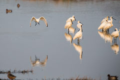 Black-faced Spoonbill Flying. Black-faced Spoonbill in group Stock Photos