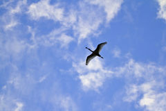 Black-faced Spoonbill flying. Flying Black-faced Spoonbill in the sky Royalty Free Stock Photos