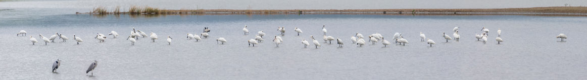 Black-faced Spoonbill, Grey Heron,Great Egret and Little Egret perching  in pond Royalty Free Stock Image