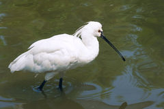 Black-faced Spoonbill. A Black-faced Spoonbill(Platalea minor) stands in water royalty free stock images