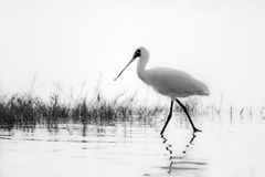 Black-faced Spoonbill (Platalea minor) walking. In water stock photos