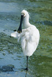 Black-faced Spoonbill Royalty Free Stock Images