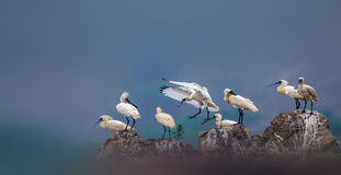 Black-faced Spoonbill. Black - faced Spoonbill relaxing on the rocks stock image