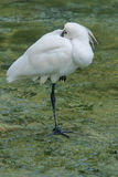 Black-faced Spoonbill Stock Images