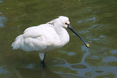 Black-faced Spoonbill Royalty Free Stock Photo