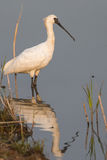 Black-faced Spoonbill standing. In water Royalty Free Stock Photography