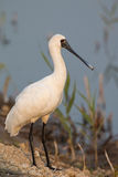 Black-faced Spoonbill standing. On waters edge Stock Image