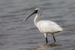 Black-faced Spoonbill standing in water Stock Images