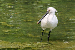 Black-faced Spoonbill. The Black-faced Spoonbill stands in water. Scientific name:Platalea minor royalty free stock photo