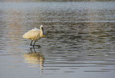 Black-faced spoonbill walk in calm water of pond. Black-faced spoonbil walk in calm water of pond india Stock Photo