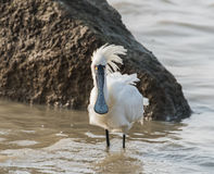 Black-faced Spoonbill Royalty Free Stock Image