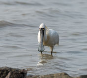 Black-faced Spoonbill Royalty Free Stock Photos