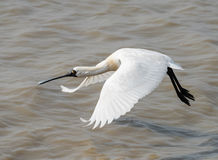 Black-faced Spoonbill Royalty Free Stock Photography