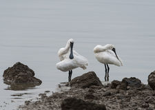 Black-faced Spoonbill Stock Image