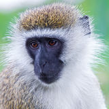 Black Faced Vervet Royalty Free Stock Image