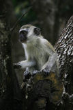 A Black Faced Vervet Monkey Stock Photo