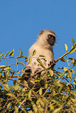 Black Faced Vervet Monkey stock photo