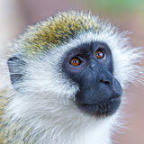 Black Faced Vervet Monkey Royalty Free Stock Image