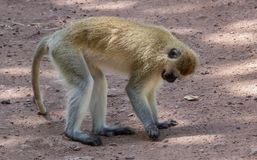 A black faced vervet monkey sits on a dirt road royalty free stock images