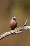 Black-faced waxbill Stock Photo