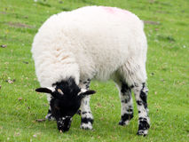 Black-faced young lamb on a farm field Stock Image