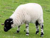 Black-faced young lamb on a farm field Stock Images
