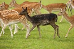 Black Fallow Deer in herd Stock Photos