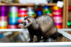 Black fanny ferret in a store. Stock Photo