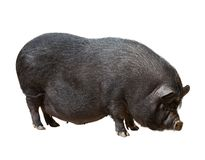 Black farm pig over white background Royalty Free Stock Photos