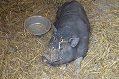Black farm pig Rolling in straw. stock photography