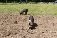 Black farm pigs Stock Image