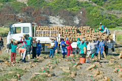 Black farm workers harvesting potatoes and loading onto truck in Cape Town, South Africa Royalty Free Stock Image