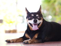 Black fat lovely miniature pincher dog. Head shot close up portraits of a fat lovely miniature pincher dog laying resting smiling laughing on ceramic tiles stock image