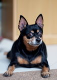 Black fat miniature pinscher Stock Image