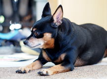 Black fat miniature pinscher Royalty Free Stock Photo