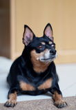 Black fat miniature pinscher Royalty Free Stock Photos