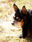 Black fat miniature pinscher Royalty Free Stock Images